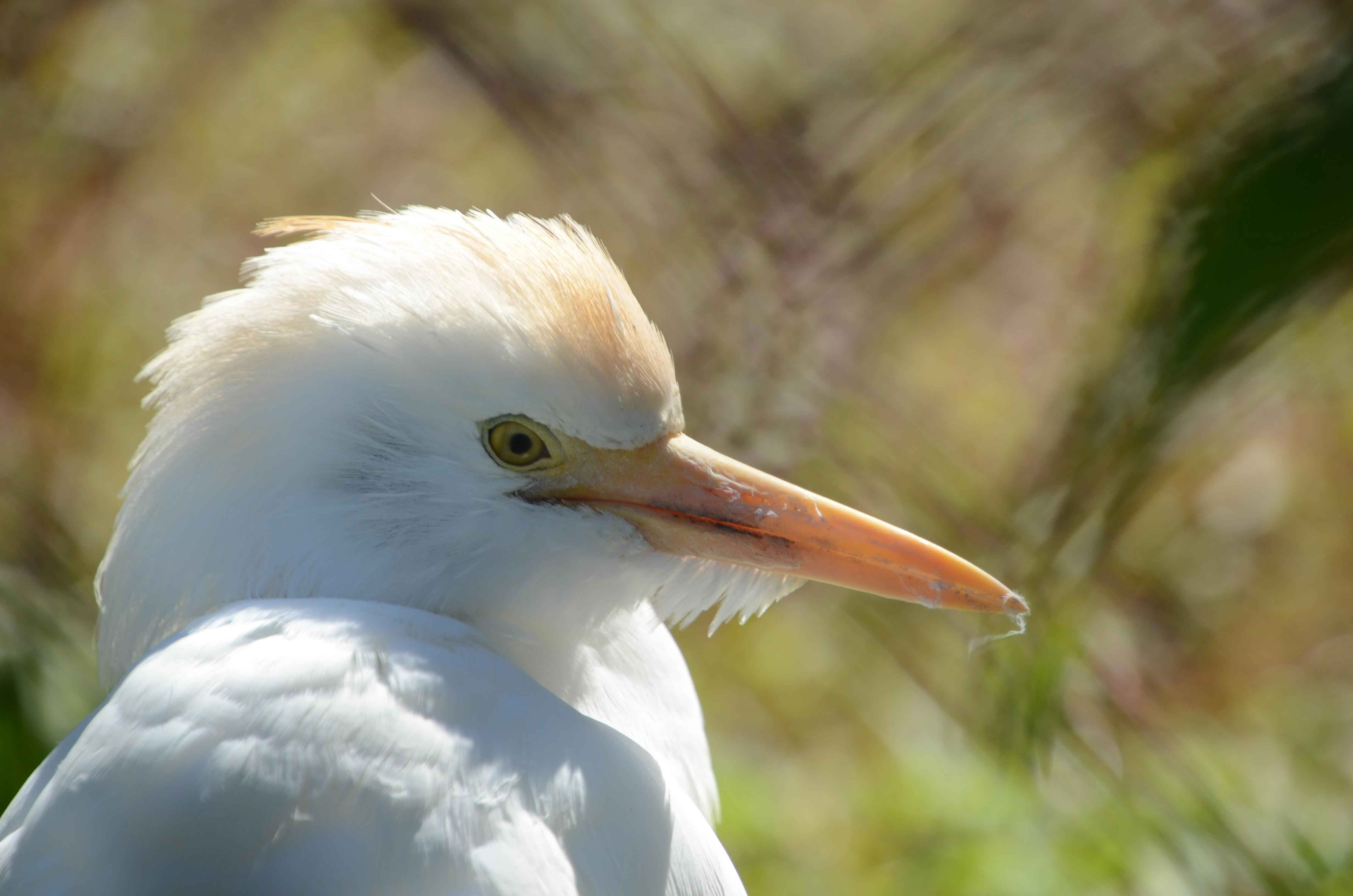 Egret Sylvan Heights Bird Park