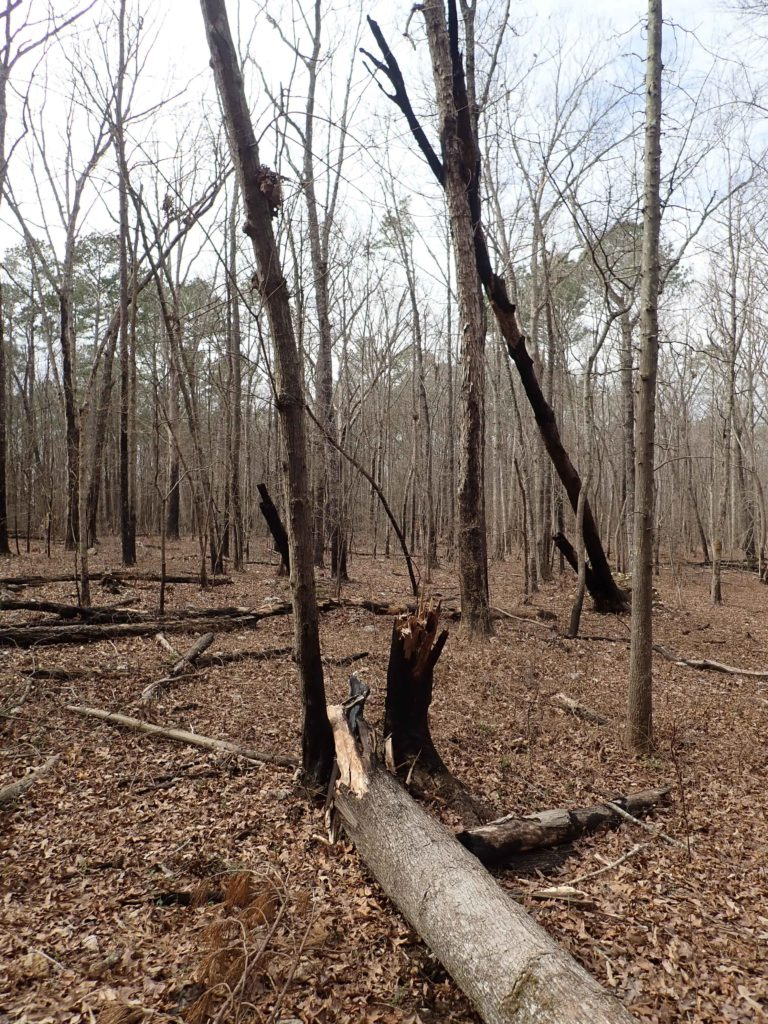 Charred and blakened trees from prescribed burn at Medoc Mountain State Park