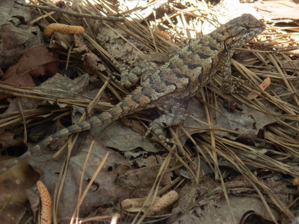 An eastern fence lizard sitting in a bed of leaves at De Hart Botanical Gardens
