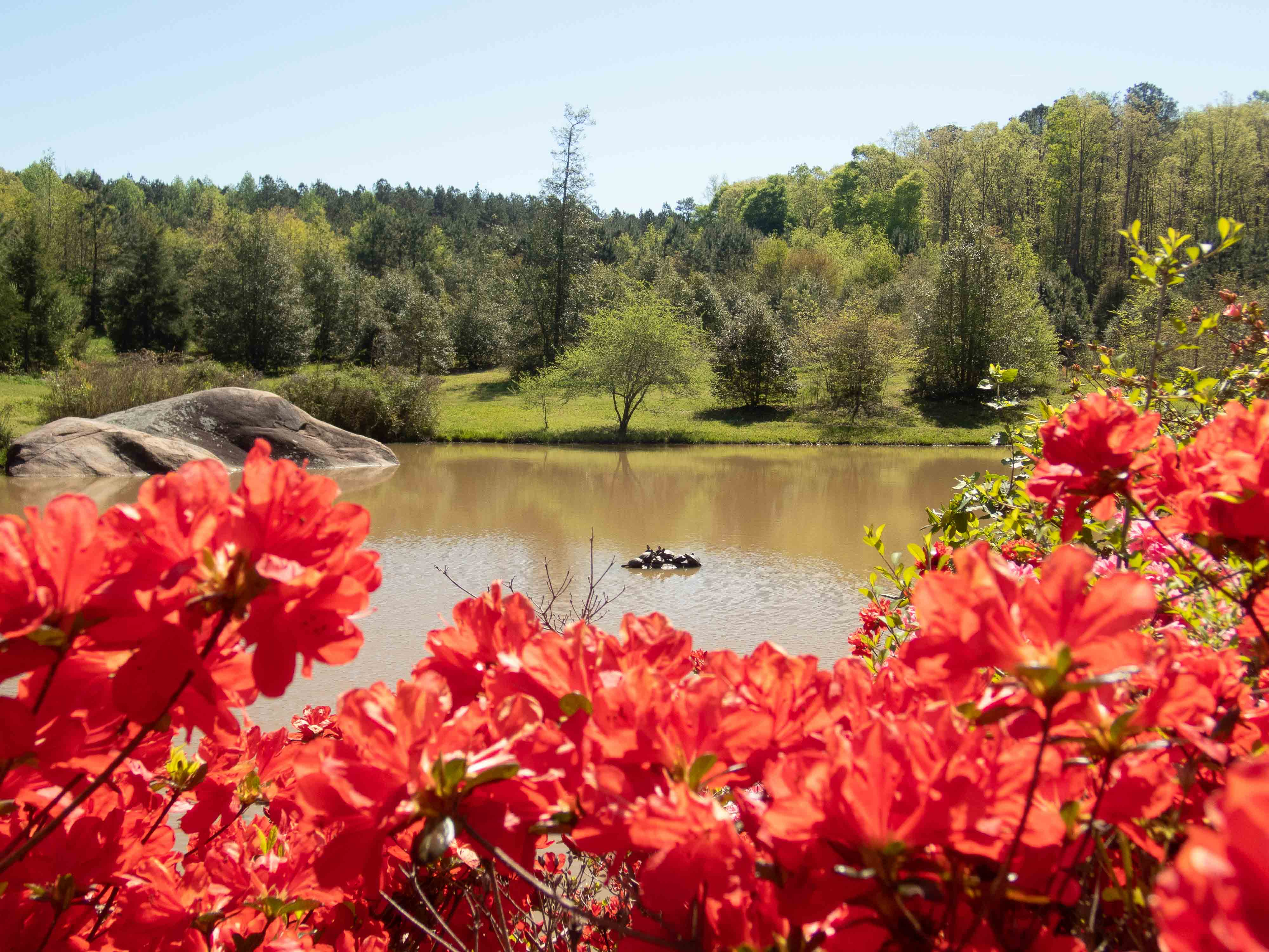 Red azaleas in the foreground, muddy lake with pile of turtles in the background