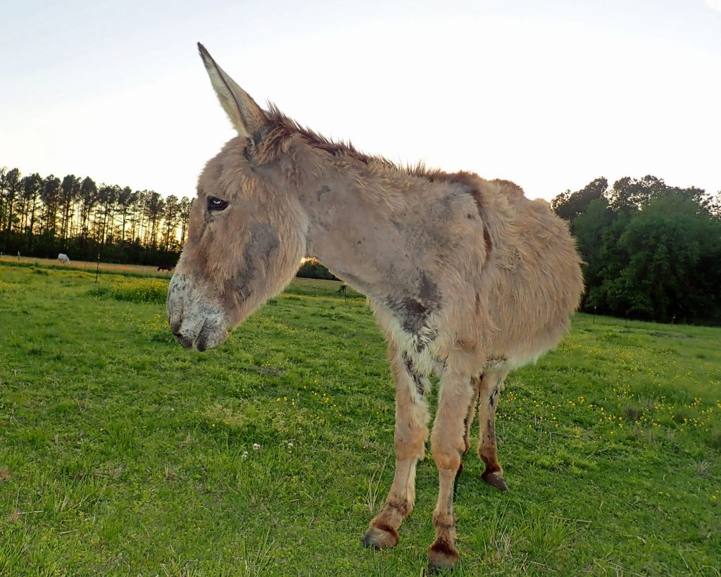 Old donkey standing in a pasture