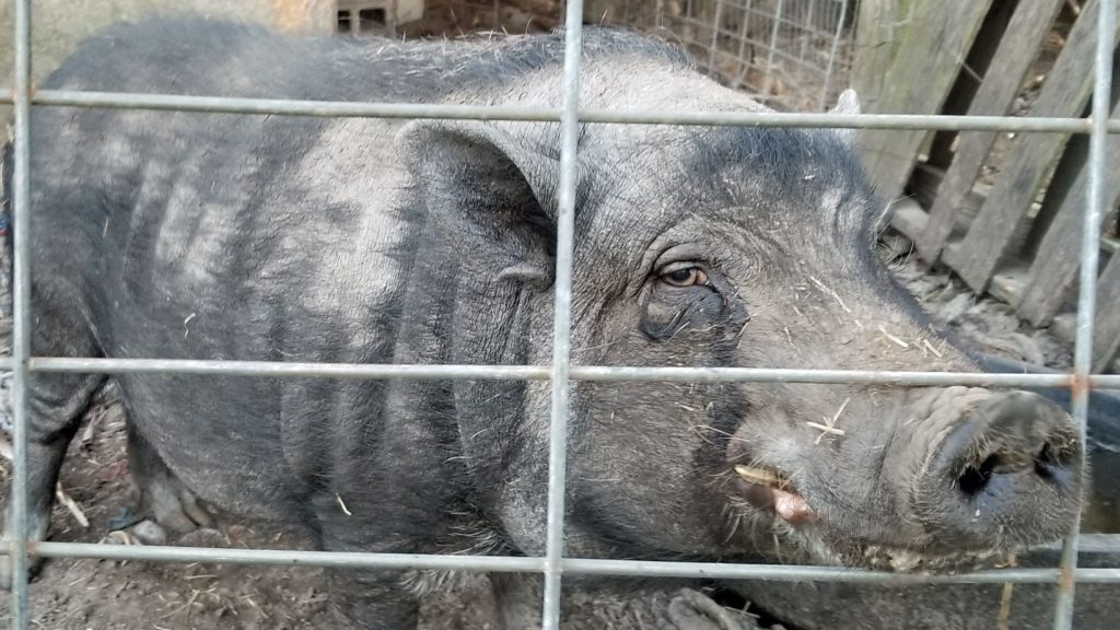 Gray pig showing its teeth in a semi-grin