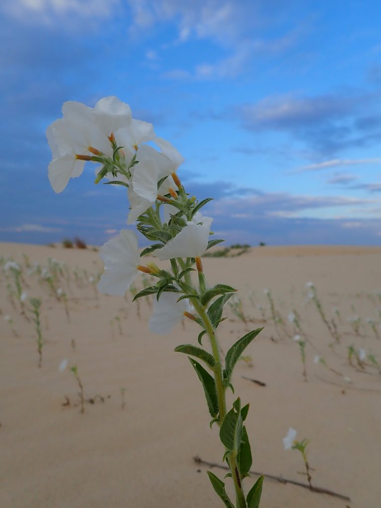 desert wild flowers at Monahan Sandhills State Park