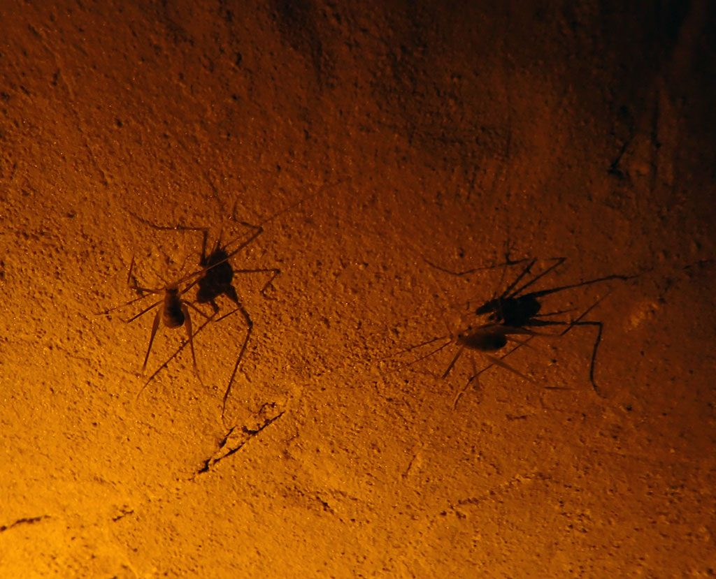 Crickets inside Mammoth Cave