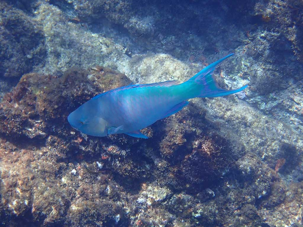 blue fish spotted snorkeling at Cano Island