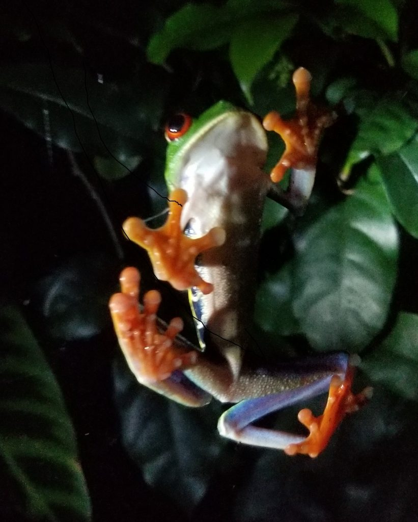 Red-eyed tree frog underbelly climbing a window at Monteverde Frog Pond