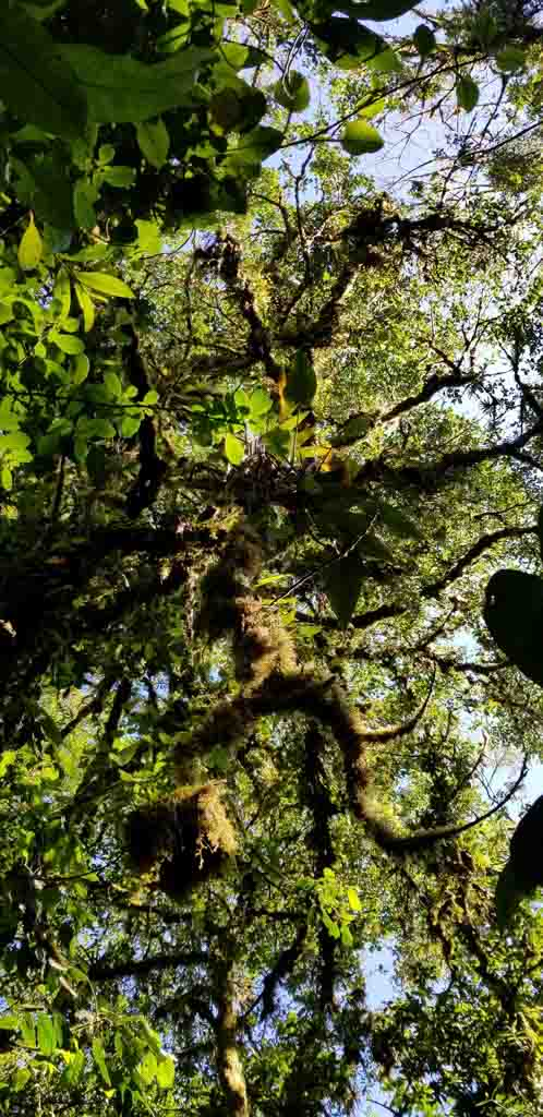 Mossy tree in Santa Elena cloud forest