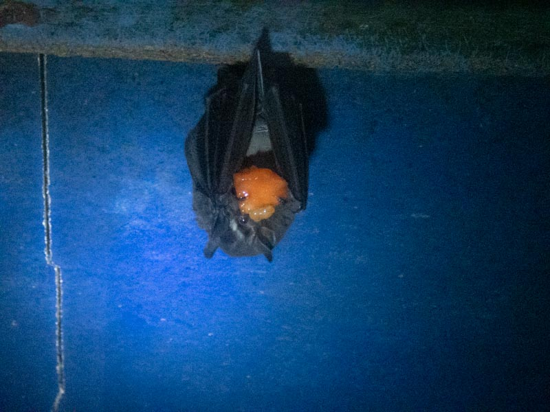 hanging bat eating orange fruit