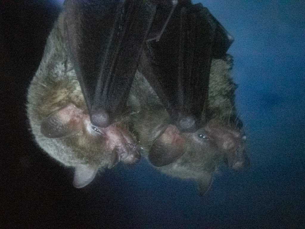 Two bats hanging