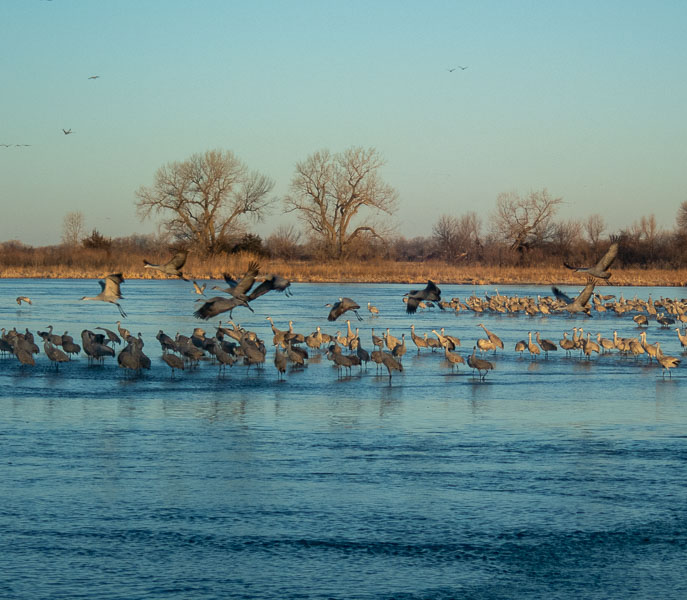 sandhill cranes standing in water with a few flying in