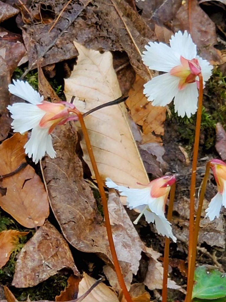 three Oconee Bell flowers